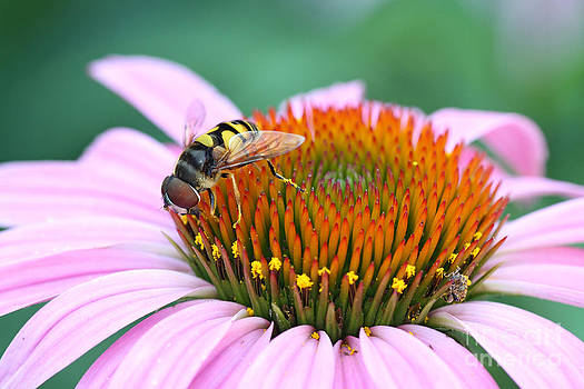American Hover Fly on Purple Coneflower by Doris Dumrauf