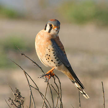American Kestrel by Bob and Jan Shriner