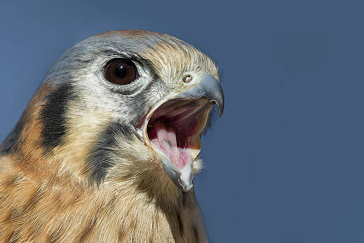 American Kestrel by Christopher Ciccone