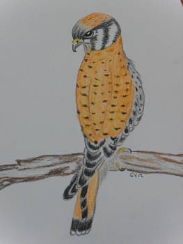 American Kestrel by Ginny Youngblood