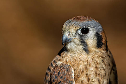 American Kestrel Portrait by Christopher Ciccone