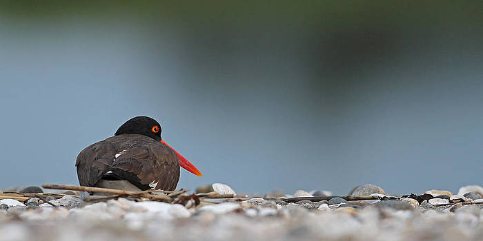 American Oystercatcher by Brian Magnier