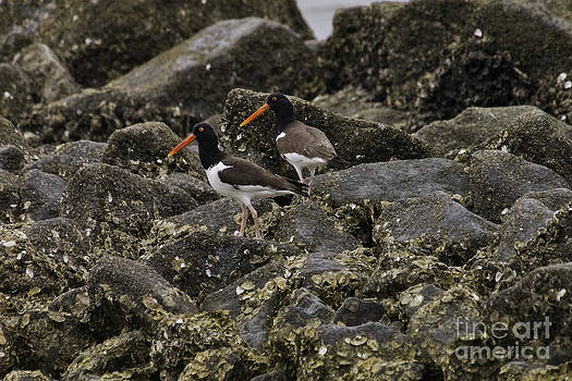 Tim Moore - American Oystercatchers on the Rocks