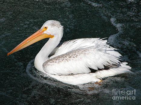 Stuart Turnbull - American Pelican