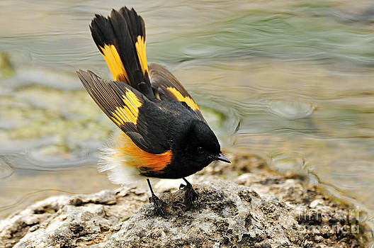 Larry Ricker - American Redstart