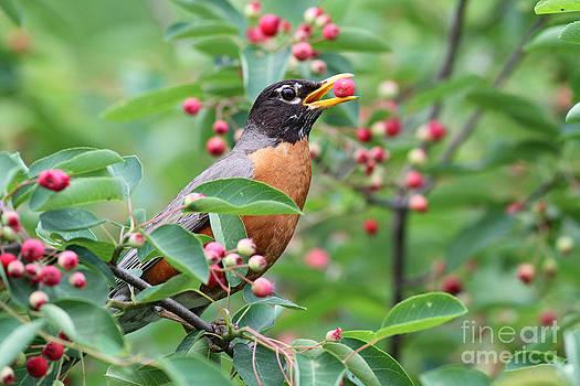 American robin eating serviceberry by Doris Dumrauf