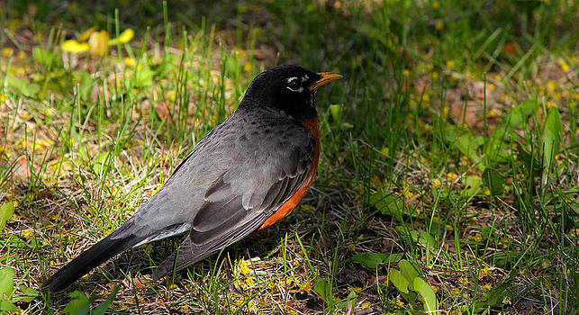 American Robin  by James Hammen