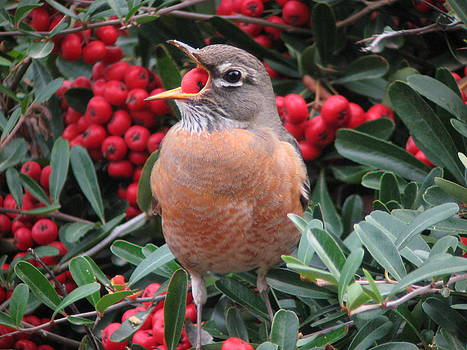 American Robin by Joe Sweeney