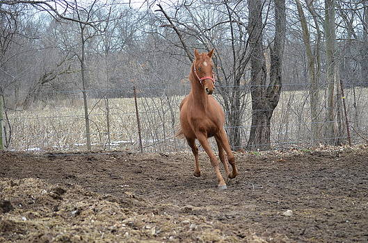American Saddlebred by Jennifer  King