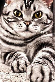 American Silver Tabby Cat by Ginger Sanders