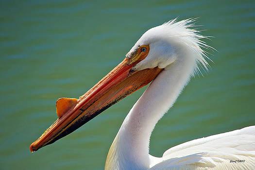American White Pelican at Cherry Creek by Stephen  Johnson