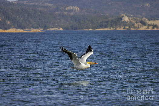 American White Pelican in Flight by Lincoln Rogers