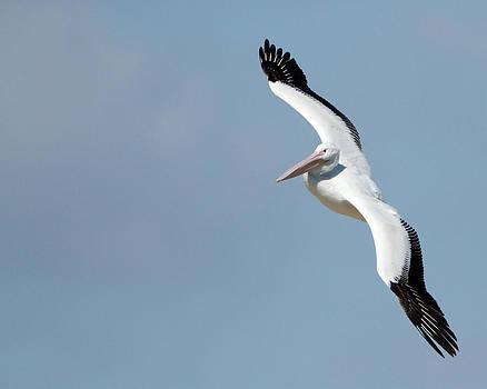 American White Pelican by Steve Kaye