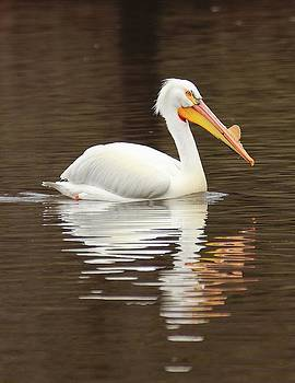 American White Pelican by Tammy Franck