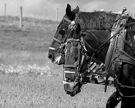 Amish plow horses by Dick Wood