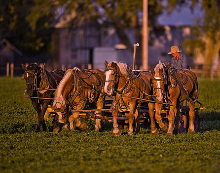 Amish Work Horses in the Golden Hour by Donna Caplinger