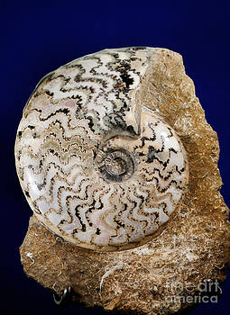 Scott Camazine - Ammonite Fossil