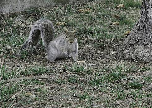 Gothicrow Images - Gray Squirrel Among The Pine Cones