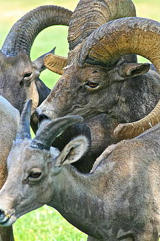 Amorous Wild Male Big Horn Sheep by Ruth Edward Anderson