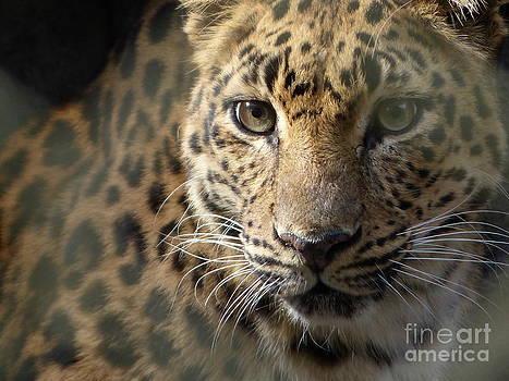 Christine Stack - Amur Leopard