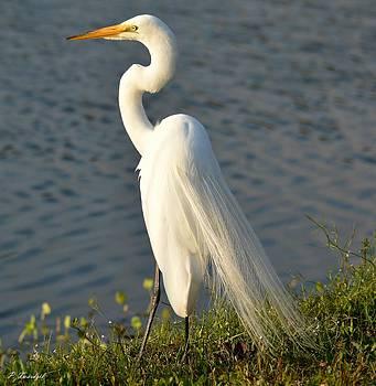 Patricia Twardzik - An Elegant Egret Shows Off Its White Plumage