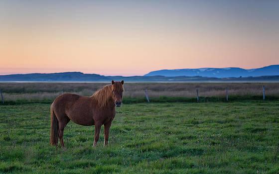 An Icelandic horse by Arnar B Gudjonsson