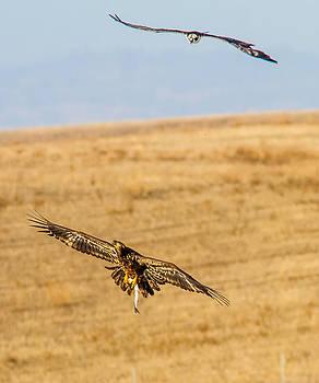 An Osprey above an Eagle by Brian Williamson