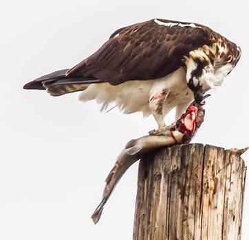An Osprey Feeding on a Trout by Brian Williamson