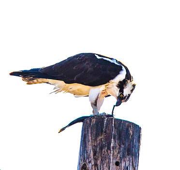 An Osprey Feeding on lunch by Brian Williamson