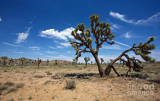 Ancient Joshua Tree by David Lee