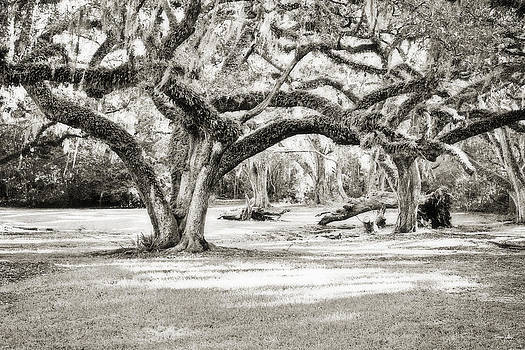 Scott Pellegrin - Ancient Oaks - sepia toned