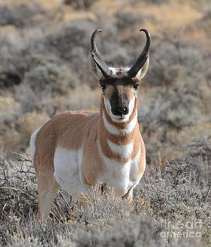 ...and The Antelope Play by Dorrene BrownButterfield