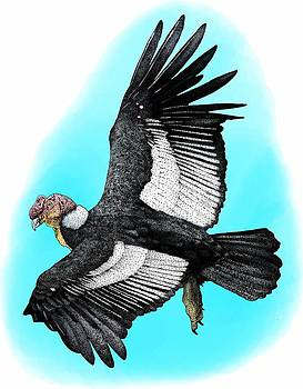 Andean Condor by Roger Hall
