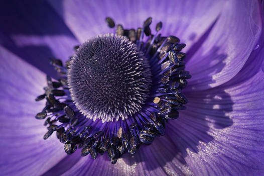 Anemone by Dheeraj Mallemala