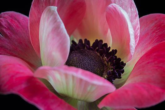Anemone in Fuchsia by Kim Aston