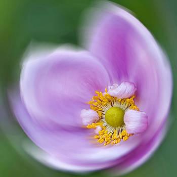 Anemone Swirl by Diane Fifield