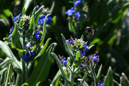 John Daly - Angel Island Bee