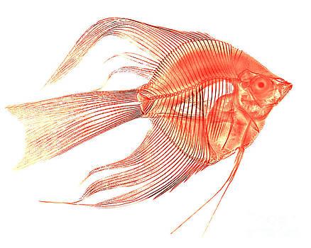 Bert Myers - Angelfish X-ray