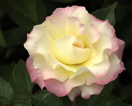 Rosanne Jordan - Angelic Peace of a Rose