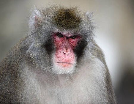 Alex Sukonkin - Angry Japanese Macaque  portrait