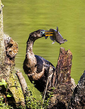 Terry Shoemaker - Anhinga with Catfish