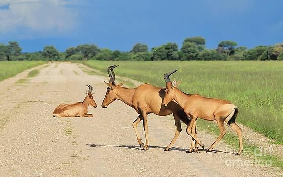 Hermanus A Alberts - Animal Transportation Traffic Jam