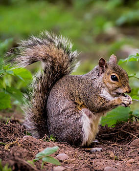 Animals - Squirrel with Pine Cone on the Ground by Scott Lyons
