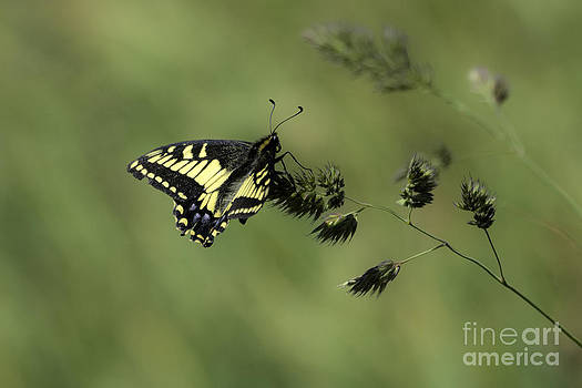 Tim Moore - Anise Swallowtail