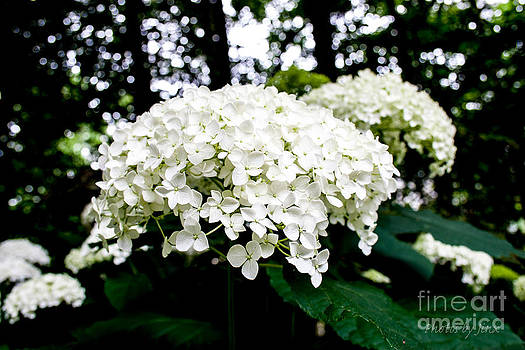 Annabelle Hydrangea Blossoms by Jinx Farmer