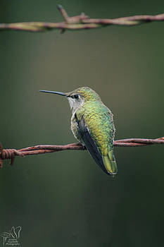 Annas Hummingbird by Audrey Elisabeth