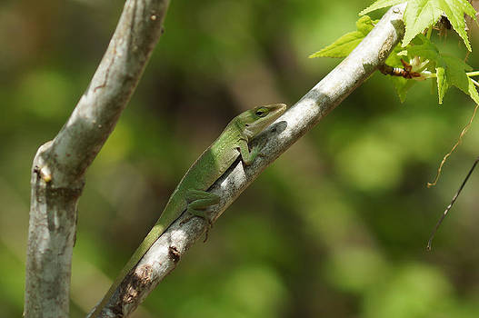 Anole Lizard by Kim Pate