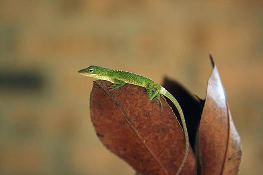 Anole Lizard by Laurie Poetschke