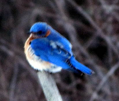 Betty Pieper - Another February Bluebird