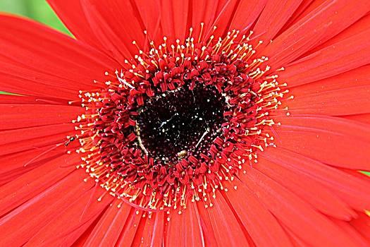 Ant That a Daisy by Sarah E Kohara